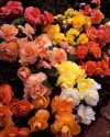 Bulbs for rose gardening, vegetables, herbs and plants